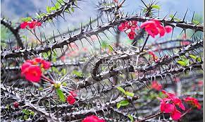 Epines Roses